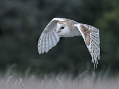Barn Owl over corn (Delboy Studios) Tags: barn corn field nature