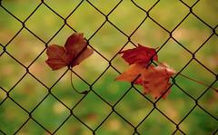 Entangled leaves (Anavicor) Tags: winter brown nature leaves ana nikon dry dslr entangled villar enredado telametlica d5300 anavicor