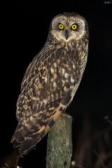 Coruja do Nabal, Short-eared Owl (Asio flammeus) (Nuno Xavier Moreira) Tags: wildlife ngc xavier nuno shortearedowl asioflammeus moreira corujadonabal shortearedowlasioflammeusemliberdadewildlifenunoxavierlopesmoreira