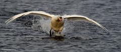 Mute Swan - Cygnus olor (Andy Pandy Pooh) Tags: swan mute rspb cygnus olor otmoor