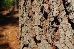 Lgrima dulce (Sabrimonalisa) Tags: wood tree forest arbol valparaiso madera bosque