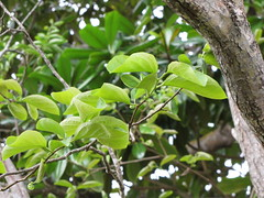 starr-110307-2693-Diospyros_kaki-leaves-Kula_Botanical_Garden-Maui (Starr Environmental) Tags: diospyroskaki