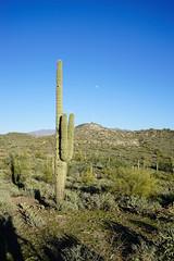 Saguaro Cactus under the moon (d24bishop) Tags: arizona cactus phoenix s saguaro blackcanyontrail