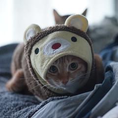 DSC08586s (lazybonessss) Tags: leica cat momo kitten nana kitten2 catinclothes elmaritm90 sonya7 sonyilce7