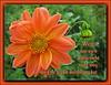 Zuversicht / confidence (Martin Volpert) Tags: dahlia flower fleur jesus flor pflanze bible blomma christianity blume fiore blüte asteraceae bibel blomster virág christus lore biblia bloem blóm çiçek floro kwiat flos ciuri dahlie bijbel kvet belohnung kukka cvijet wegwerfen flouer glauben christentum zuversicht bláth cvet zieds õis floare תנך korbblütler blome žiedas bibelverskarte mavo43 georginen hebrews1035 hebräer1035