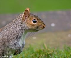 Grey Squirrel-9491 (Wildlife Boy1) Tags: nature nikon wildlife jacob spinks 2016 nikonlens scaldwell wildlifephotography nikond7100