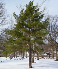 Conifer (Dendroica cerulea) Tags: trees winter snow tree pine newjersey nj highlandpark conifer middlesexcounty donaldsonpark