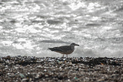 Gull with Imogen Bokeh (Shastajak) Tags: beach bokeh shingle herringgull stormyseas youngherringgull