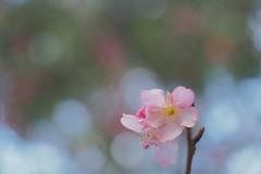 P2103883 (deception.tw) Tags: leica flower hsinchu taiwan olympus panasonic   45mm omd  em5  hsinchucity leicadgmacroelmarit12845