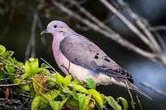 _7D10392 Eared Dove.jpg (dsamsky) Tags: birds ecuador wildlife cloudforest eareddove glennbartley jessfindlay casajardinturiquindi