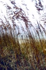 Beach Grass - Virginia (Don Thoreby) Tags: grass virginia solitude peaceful chesapeakebay beachgrass goldengrass easternus kipotopeakeshore