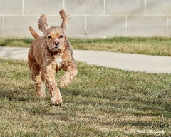 It's starting to feel like spring!  Yay! (Denise Trocio (D Trocio Photography)) Tags: dog pet sunlight sunshine animal canon outdoors sigma ears running lucky cockerspaniel springtime luckycharm americancockerspaniel domesticanimal dtrociophotography
