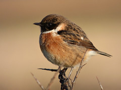 Stonechat (male) (Peanut1371) Tags: brown white bird chat stonechat nationalgeographicwildlife