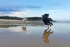 Poodles reflection 2 (caralan393) Tags: reflection beach poodles fun running splash iphone moruya