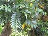 starr-120606-6896-Castanospermum_australe-leaves-Kahanu_Gardens_Hana-Maui (Starr Environmental) Tags: castanospermumaustrale