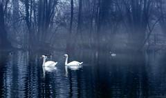 IMG_7765 the swan lake (pinktigger) Tags: italy lake bird nature swan italia legacy friuli whiteswan fagagna oasideiquadris feagne pastfeaturedwinner
