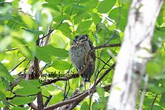 OWL (Whitefox Chen) Tags: tree bird animal canon taiwan owl taipei   canon70300mm