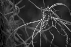 hanging moss, New Smyrna Beach, Florida, Nikon D40, Nikon Nikkor 55mm f-3.5, 2.8.16 (steve aimone) Tags: blackandwhite moss florida monochromatic newsmyrnabeach hangingmoss primelens atlanticcenterforthearts nikond40 nikonprime nikonnikkor55mmf35
