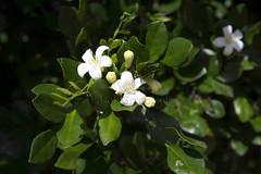 _ITA2512 (Edson Grandisoli. Natureza e mais...) Tags: planta interior flor campo urbana odor araçoiaba murraya murta fragrância arborização regiãosudeste arvoreta