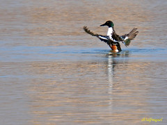 Cuchara comn              (Anas clypeata) (19) (eb3alfmiguel) Tags: aves cuchara comn acuaticas europeo antidas