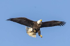 BALD EAGLES NESTING ON LEVEE RD., BROOKVILLE IN. (nsxbirder) Tags: baldeagle indiana landing haliaeetusleucocephalus brookville whitewaterriver franklincounty leveeroad