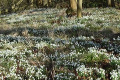 Snowdrops at Dimminsdale nature reserve (helen@littlethorpe) Tags: nature spring reserve snowdrops dimminsdale