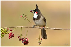 Red Whiskered Bulbul (arjun.nikon) Tags: wild bird nature fruits birds animal animals berry nikon natural outdoor wildlife explore national wilderness tamron geographic whiskered wildbird letsexplore iamnikon wildpxblogspotcom wildpx