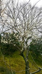 Japanese Plum (ume) Blossoms in Tenryu-Ji Temple (cw's) Tags: japanese plum umeblossoms