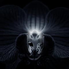 Orchid Bird (Gabriel Tompkins) Tags: 2014 60mm 60mmf28g 60mmf28gmicro america arboretum bw blackwhite blackandwhite blur bokeh closeup d90 dof dslr flora floral flower flowers gabrieltompkins gaiserconservatory greenhouse inlandnorthwest lowkey macro manitopark micronikkor monochrome nikkor nikon nikond90 pnw pacificnorthwest pareidolia park plant spokane toned toning tronam usa washington washingtonstate tronamcom