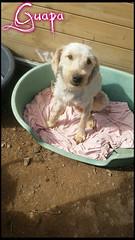 Guapa (santuariolacandela) Tags: españa spain guapa animalsanctuary femaledog adoption mestiza hembra fosterhome acogida adopción cabezalavaca santuariolacandela