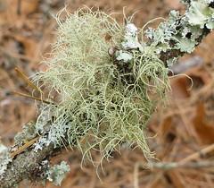 Usnea sp. lichen (Mullica) Tags: old beard natural mans medicine lichen antibiotic usnea