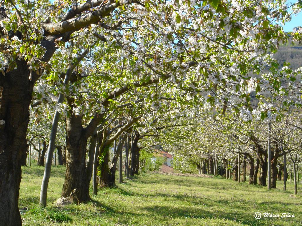 Águas Frias (Chaves) - ... cerdeiras em flor ...