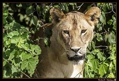 Tarangire 2016 11 (Havaux Photo) Tags: elephant robert rio river tanzania photo lion ostrich leon zebra antelope avestruz giraffe gazelle elefant antilope tarangire elefante riu gacela cebra estru jirafa lleo tarangirenationalpark antilop gasela havaux