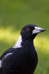 One of the locals (aussiegall) Tags: autumn bird beak feather australia magpie avian