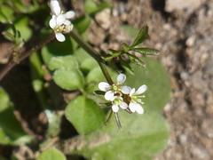 タネツケバナ (nofrills) Tags: white flower macro floral spring weeds weed flora tiny roadside whiteflowers bittercress タネツケバナ wavybittercress