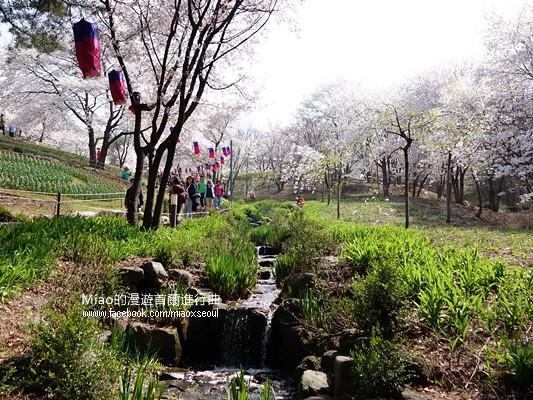 안산공원벚꽃24