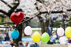 20160405-044-Picnics under Yoyogi-koen cherry blossoms (Roger T Wong) Tags: travel people holiday japan garden balloons tokyo spring picnic crowd harajuku cherryblossoms yoyogikoen 2016 canonef70200mmf4lisusm canon70200f4lis canoneos6d rogertwong