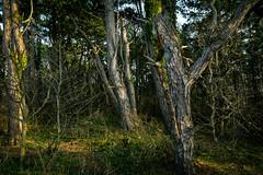 Low Sun, Deep Woods (macarano) Tags: sun detail wales forest woods bark lowsun 2470 niikkor
