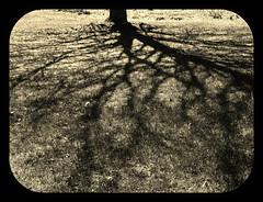 HSS!  TREE SHADOW (Visual Images1) Tags: shadow tree hss slidersunday ipiccy