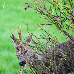You mean you can see me hiding here while I eat your roses? (Sue_Todd) Tags: uk morning england nature animals garden season spring seasons unitedkingdom wildlife places deer alnwick northumberland april cottagegarden wildlifephotography suetodd eglingham