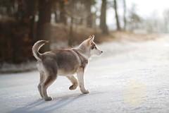 Manfred (Martyna Og) Tags: winter dog sun snow puppy poland malamute littleanimal shiningsun winterinpoland littledoggy littledoglaughedstories alascanmalamute alascandog winterhund