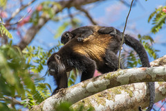 Father and Baby Howler Monkeys (Conrad Kuiper) Tags: male canon mammal monkey costarica infant adult outdoor sigma 50500 howler 7dmkii