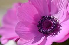 spring sunshine (snowshoe hare*) Tags: flowers macro spring anemone botanicalgarden  dsc0506