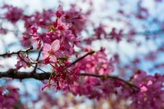 20160306-DSC_6124 (Kay's...) Tags: cherryblossom sakura   wuling wulingfarm