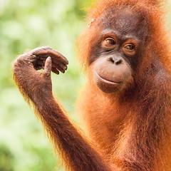 Orangutan 5 (Rachel Dunsdon) Tags: club explore website malaysia borneo orangutan sabah orang utan easternsabah