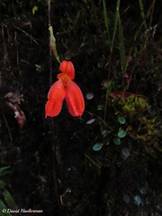 Porroglossum edwardii floreciendo in situ (Distribucin: Colombia y Ecuador desde 1900 hasta 2900 m snm), Risaralda, Colombia (David Haelterman) Tags: nature naturaleza wilderness america amrique americadelsur sudamerica southamerica amriquedusud tropicos tropiques tropics orchid orchide orqudea orchidaceae plant planta plante flor fleur flower