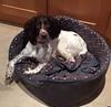 English Springer Spaniel Puppy (Heaven`s Gate (John)) Tags: england rescue dog pet english animal puppy basket adorable brock spaniel springer adopted johndalkin heavensgatejohn
