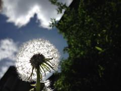 160423-sunlit-dandelion-raw (zverina.com) Tags: dandelion makeawish catplanet misothecat
