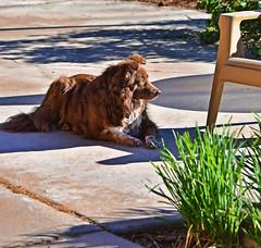 Sunning Herself (Jo-We Got Rain-Yippee!!!) Tags: dog green animal bunch garlic chives ddc sunning inthebackyard 1637 intheherbgarden shizandra chocolatebordercolliemix