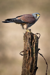 King K (Mr F1) Tags: wild male nature wooden eyes post wildlife barbedwire colourful birdsofprey kestrel bop blurredbackground vapourised johnfanning